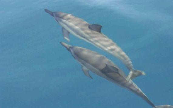 Online article writing spinner dolphins since the 1960s